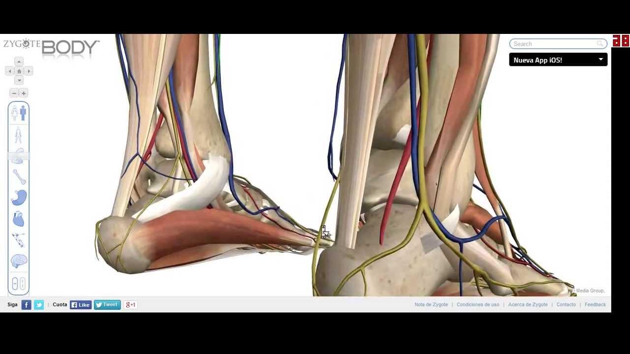 Los Tendones (Tendon de Aquiles) Anatomía grupo NO 4 - YouTube