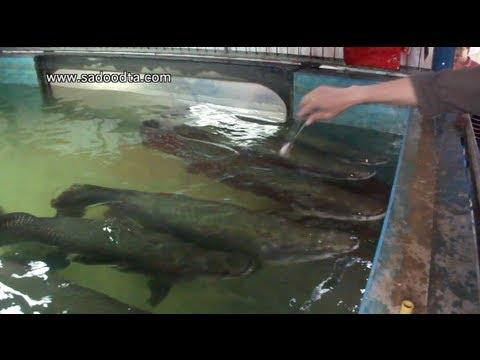 ให้อาหารปลาช่อนอเมซอนตัวใหญ่มาก
