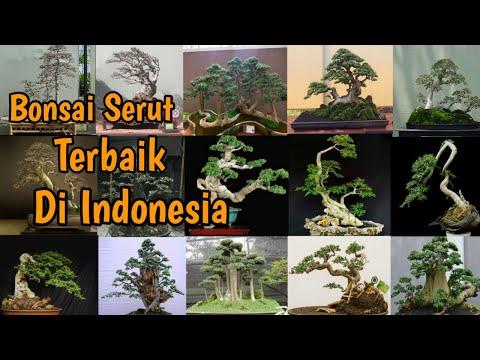 Kumpulan Bonsai Serut Terbaik Di Indonesia    Ipenk Real Life