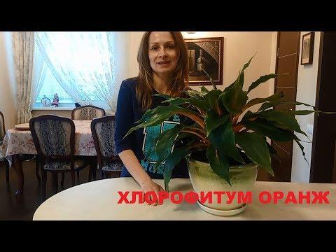 ПЕРЕСАДКА ХЛОРОФИТУМА ОРАНЖ