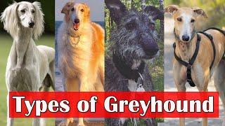 Types of Greyhound | 8 surprising types of greyhound dog breeds