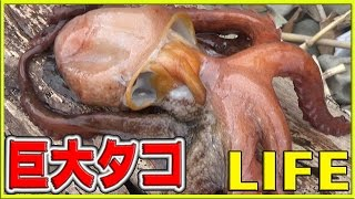 【0円大食い】海で自給自足!巨大タコとゾンビ魚を獲って食う【LIFE】