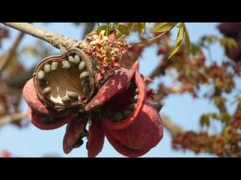 Sterculia foetida [Indian Wild Almond]