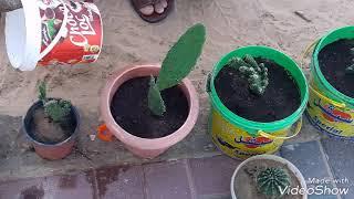 لاول مره 😀طريقه زراعة  نباتات الصبار 🌵🌵🌵🌵🌵