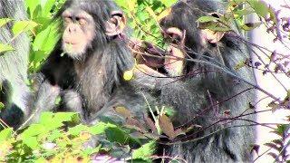 Download Video チンパンジー 双子の赤ちゃん176 Chimpanzee twin baby MP3 3GP MP4