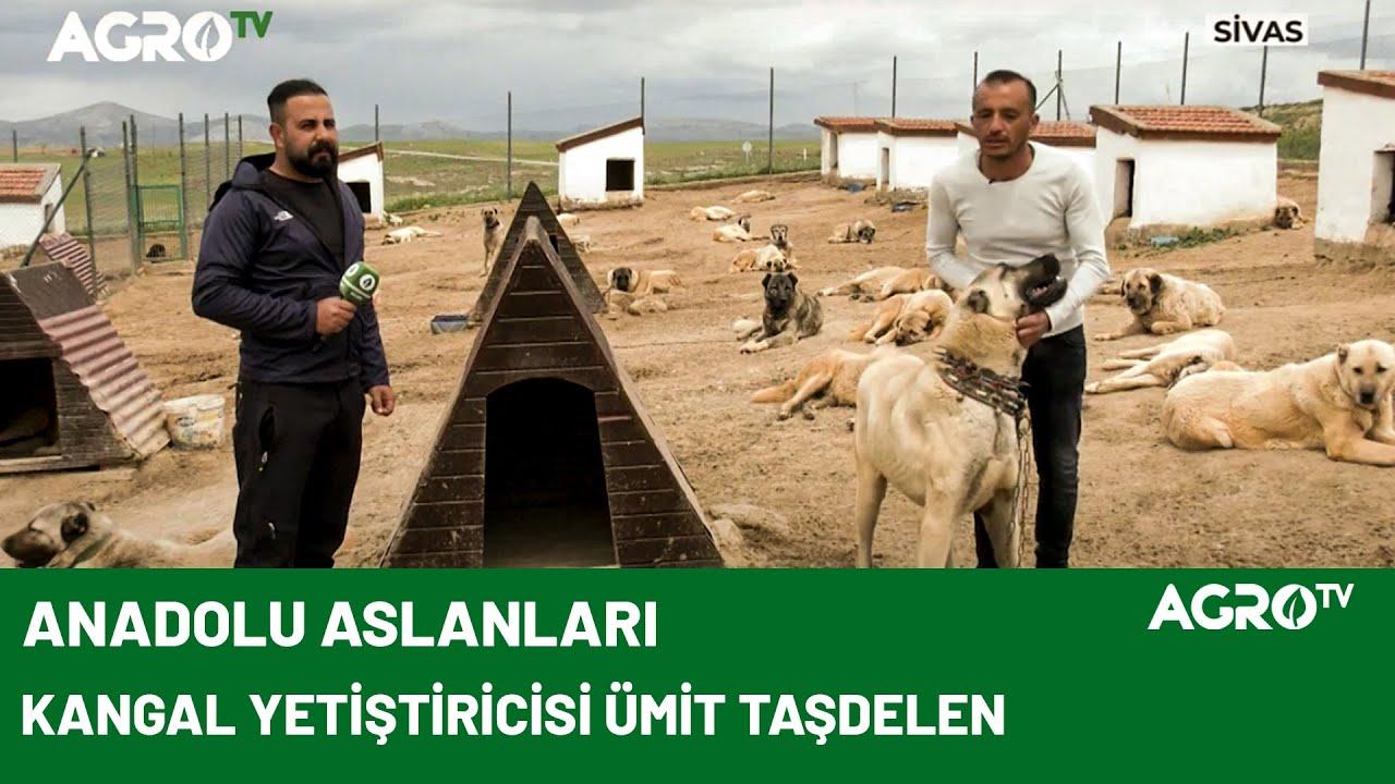 Sivas'ın En Büyük Kangal Çiftliği / AGRO TV