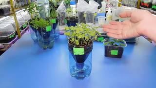 Рассада Базилика выращивание на фитильном поливе ! Посадка полив семена уход