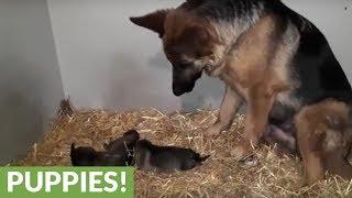 German Shepherd mom fascinated by her puppies
