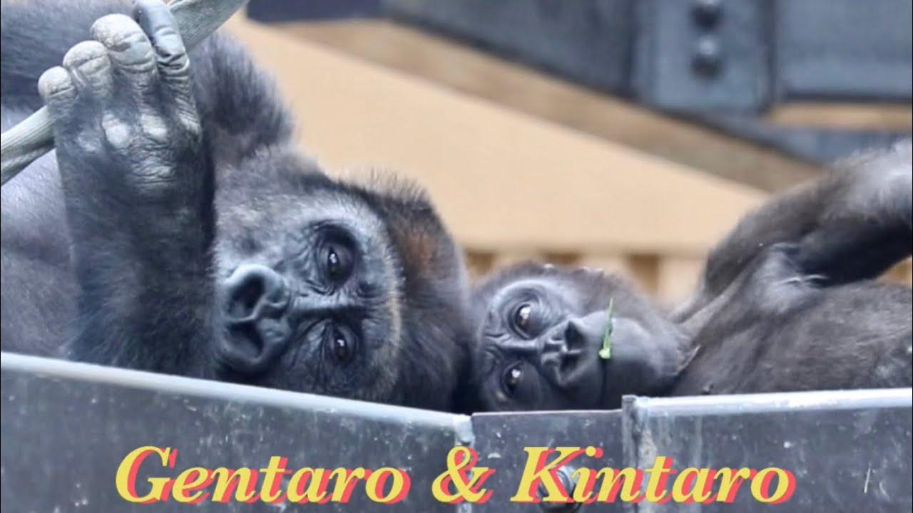 時々キンタロウに触れたくなる父ちゃん⭐️ゴリラ Gorilla【京都市動物園】Momotaro sometimes wants to touch Kintaro.