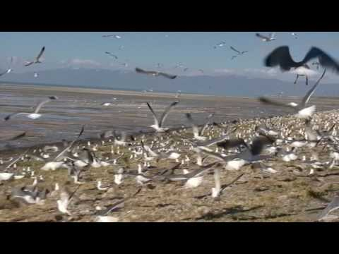 PARAMOTOR ANIMAL ABUSE AGAIN BY DELL SCHANZE OF FLAT TOP PARAMOTORS - FLYING THROUGH SEAGULLS!