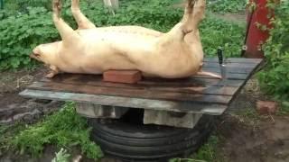 Деревня. Теория забоя.(Как я произвожу забой свиней. Кровь остается в грудной клетке , далее используется в приготовлении колбасы., 2016-06-02T10:41:39.000Z)
