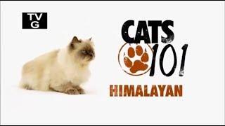Гималайская кошка 101kote.ru Himalayan 101cats