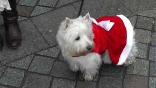 Westie Im Weihnachtskleid Auf Dem Weihnachtsmarkt Hameln