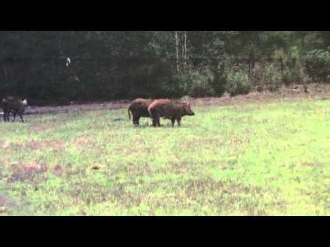 South Carolina Hog Hunt