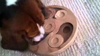 Beagle Is Playing Intelligence Game