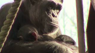 Download Video 東山チンパンジー 双子の赤ちゃん 27  Chimpanzee twin baby MP3 3GP MP4