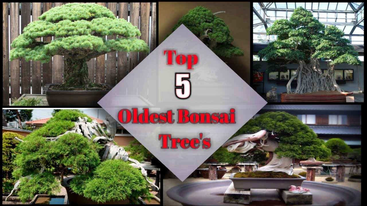 Top 5 Oldest Bonsai Trees In The World Details In Hindi Bonsai Tree In Hindi Youtube