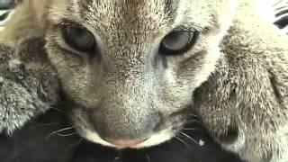 Jungle cat PROSTOV2