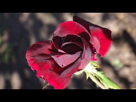 """Роза  """"Черный принц"""""""