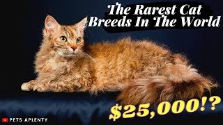 The Rarest Cat Breeds In The World   Peterbald   Laperm   Cornish Rex   Exotic Shorthair