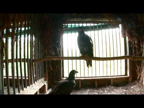 Bald Eagle Release August 2, 2013 (AEF)