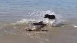 Paus Orca Serang Hiu di Pantai Selandia Baru