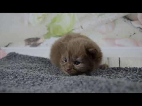 American Curl Girl Chocolate kitten   Video