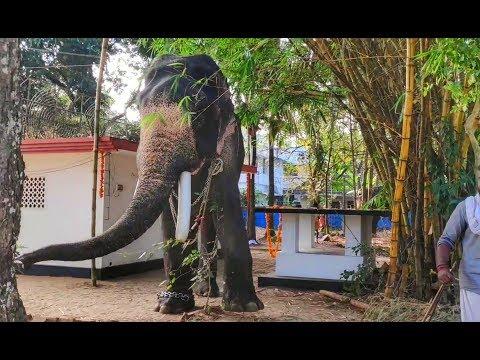 കൂവളത്തിന്റെ മുകളിൽ ചവിട്ടിയപ്പോൾ ആനയുടെ പ്രതികരണം നോക്ക് | Kiran Narayanankutty Kerala Elephant