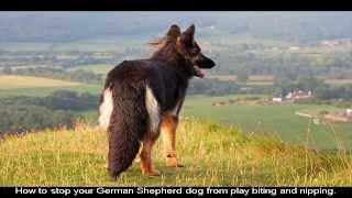 Czech German Shepherds Breed