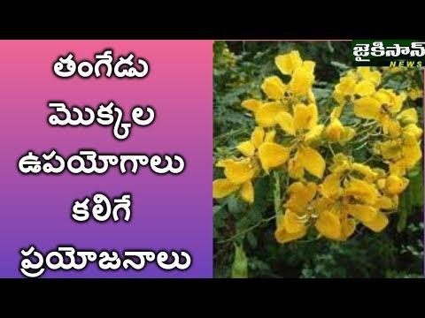 తంగేడు మొక్కల ఉపయోగాలు కలిగే ప్రయోజనాలు Advantages of the Plantation in tangedu puvvu| JaiKisan News |