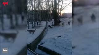 Стая бездомных собак держит в страхе жителей Артема