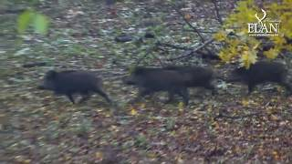 Driven Wild Boar Hunt in Hungary