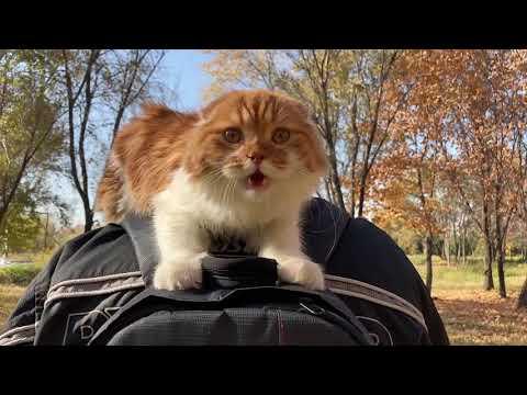 Kitten Highland fold. Котенок породы хайленд фолд.