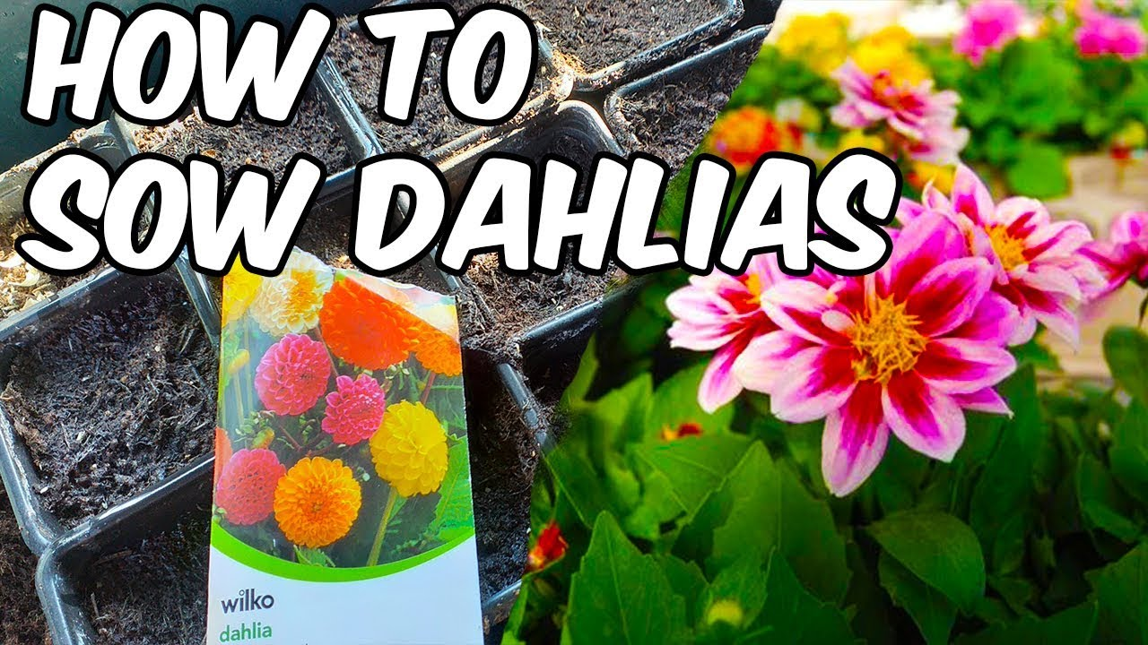 Planting Dahlias From Seed How To Grow Dahlias From Seed Youtube