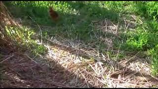 В Приамурье японский журавль кормит птенца
