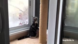 Американская короткошерстная - породы кошек