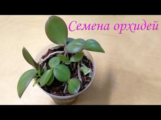 Семена Орхидей после высадки видео № 4