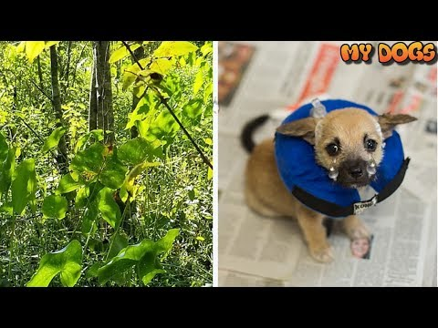 Woman Hears Faint Cries From Swamp, Rescue Tiny Puppy Tied To A Tree