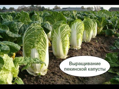 Белокачанная капуста полезные и опасные свойства капусты