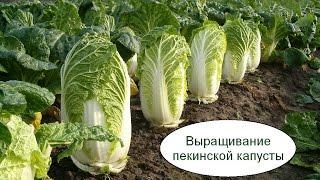 видео Выращивание капусты как бизнес