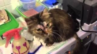 Кошка -старая травма и абсцесс, четвёртый день после операции .