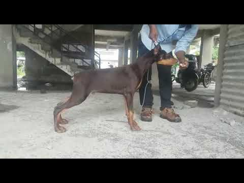 Father of Our Doberman puppies Cl 9140752208