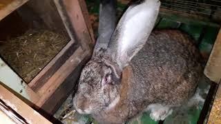 Velikan dovşanlar