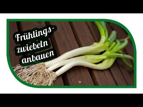 Frühlingszwiebeln Erfolgreich Im Garten Anbauen Lauchzwiebeln Von Der Aussaat Bis Zu Ernte Youtube