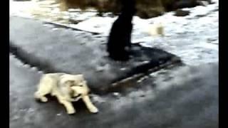 Свора собак В Тюмени