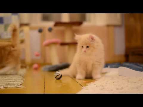 NORVÉG ERDEI MACSKA KÖLYKÖK  ≧^◡^≦  NORWEGIAN FOREST CAT KITTENS