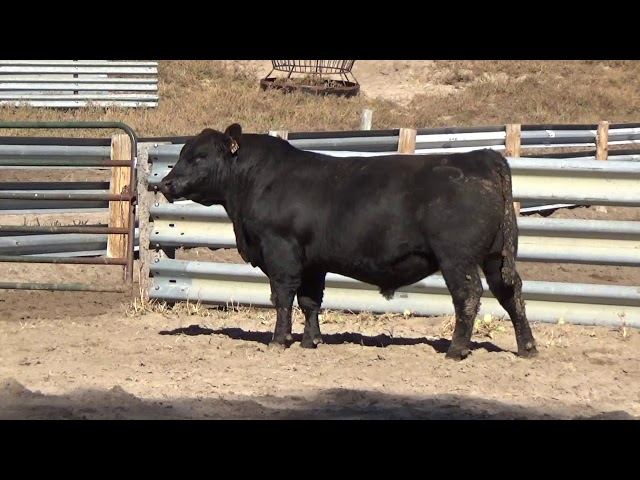 Connealy Angus Lot 5