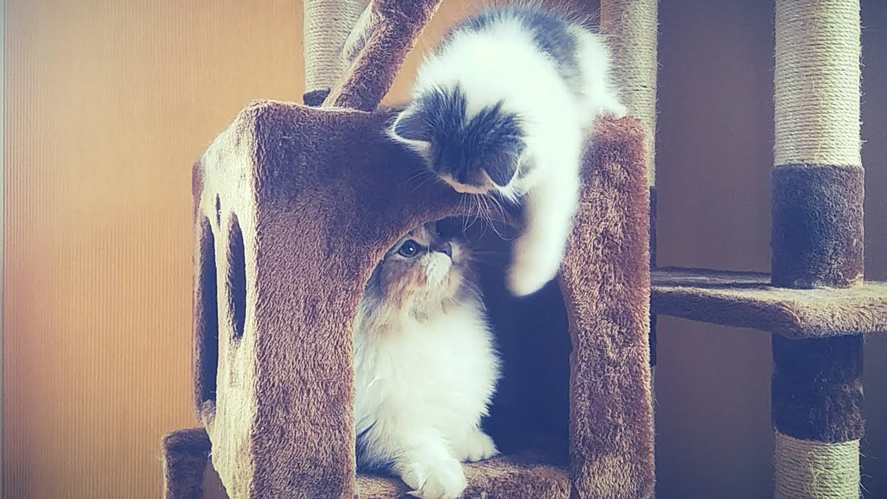 high jumping cat breed