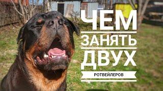ЧЕМ ЗАНЯТЬ ДВУХ РОТВЕЙЛЕРОВ.Воспитание и дрессировка собаки. Ротвейлер день за днем