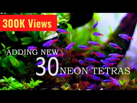 #44 Introducing 30 Neon Tetras In My Planted Tank